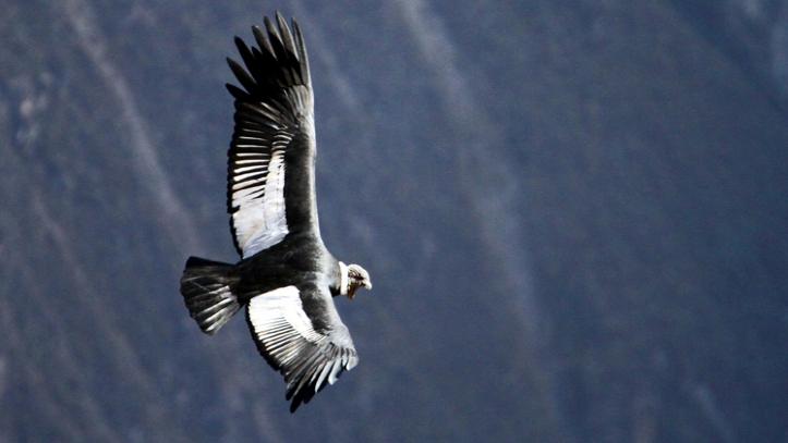 Vuelo del Condor en el Colca