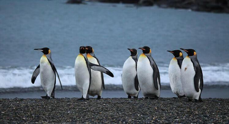 Pinguino Rey Punta Arenas