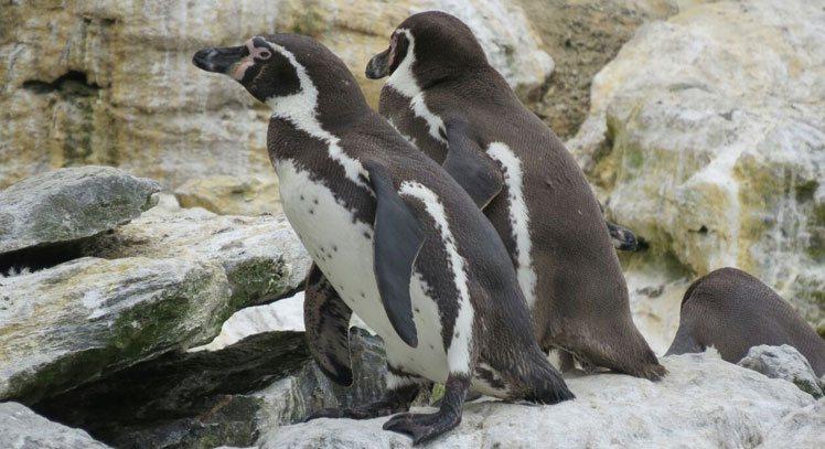 Pinguim-de-Humboldt e Ilha Damas